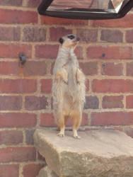 Sentry meerkat by apple-kitty