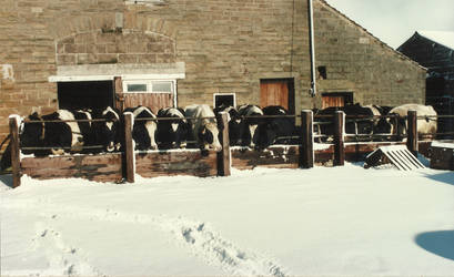 Cows in the snow by SomersetCider