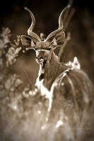 Backlit Kudu by MrStickman