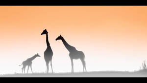 Giraffes at Dawn by MrStickman