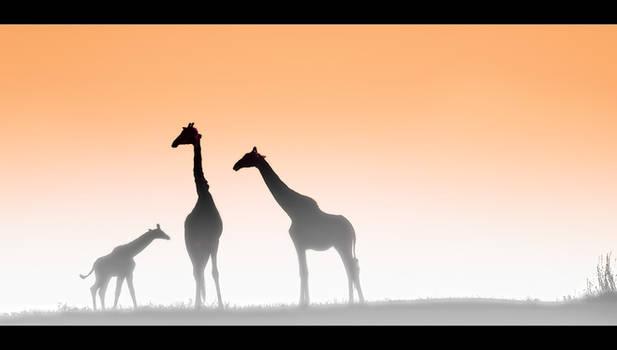 Giraffes at Dawn