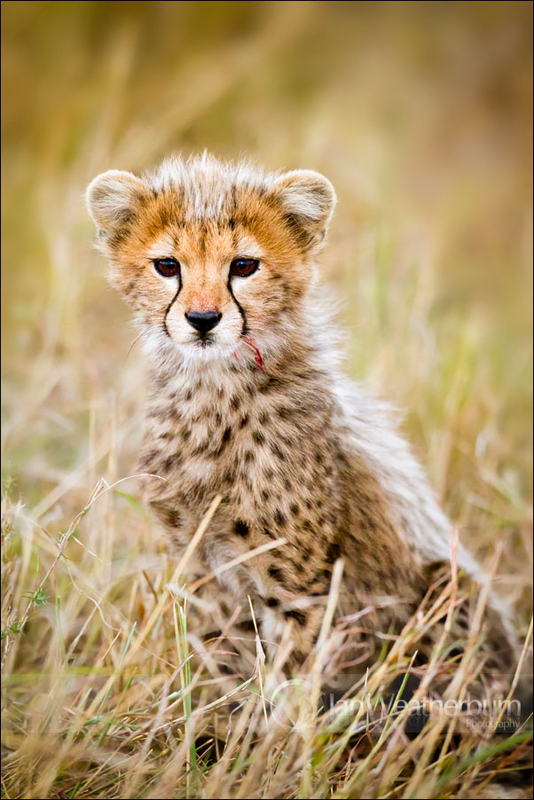 Cheetah Cub Kill by MrStickman