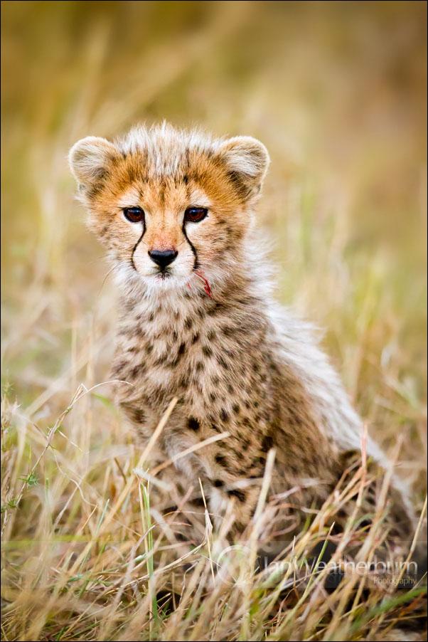 Cheetah Cub Kill by MrStickman
