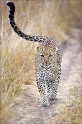 Leopard Stroll by MrStickman