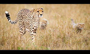 Cheetahs in Training by MrStickman