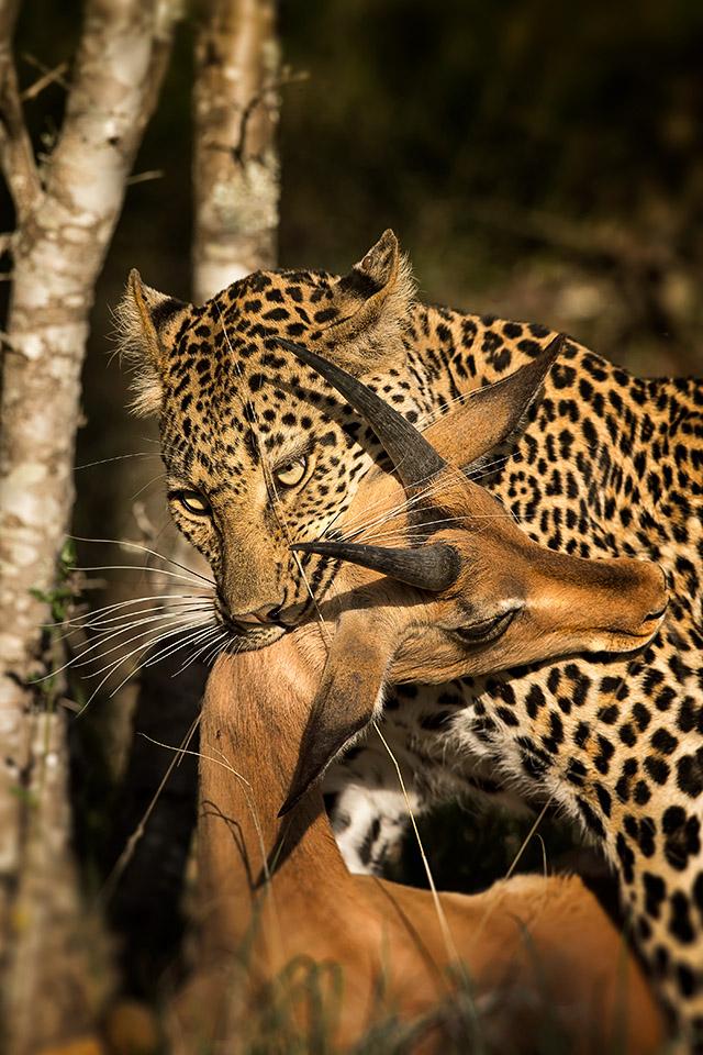 Leopard Kill by MrStickman