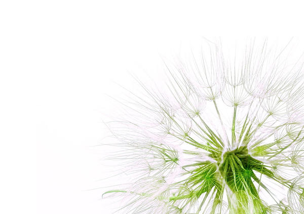 Minimalist Dandelion Wallpaper By MrStickman