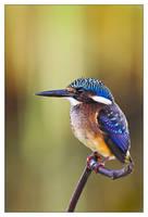 Malachite Kingfisher-Juvenile by MrStickman