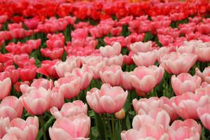 Tulipa IV by blizzard2006