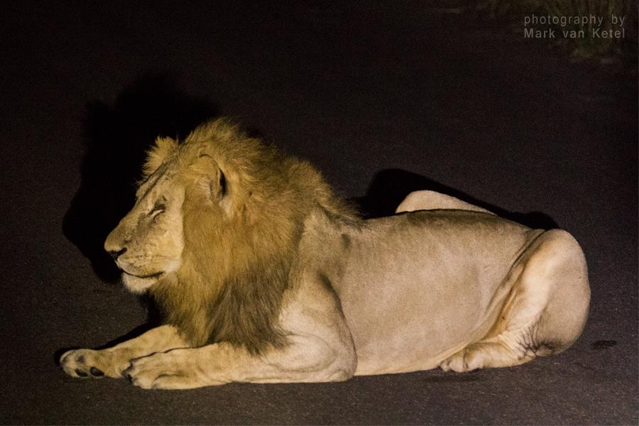 Panthera Leo by blizzard2006