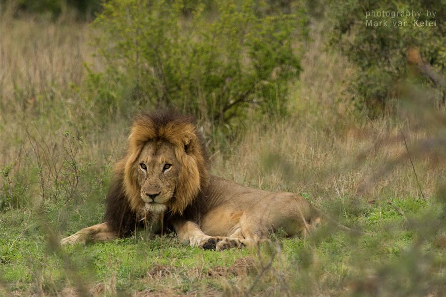 Panthera Leo II by blizzard2006