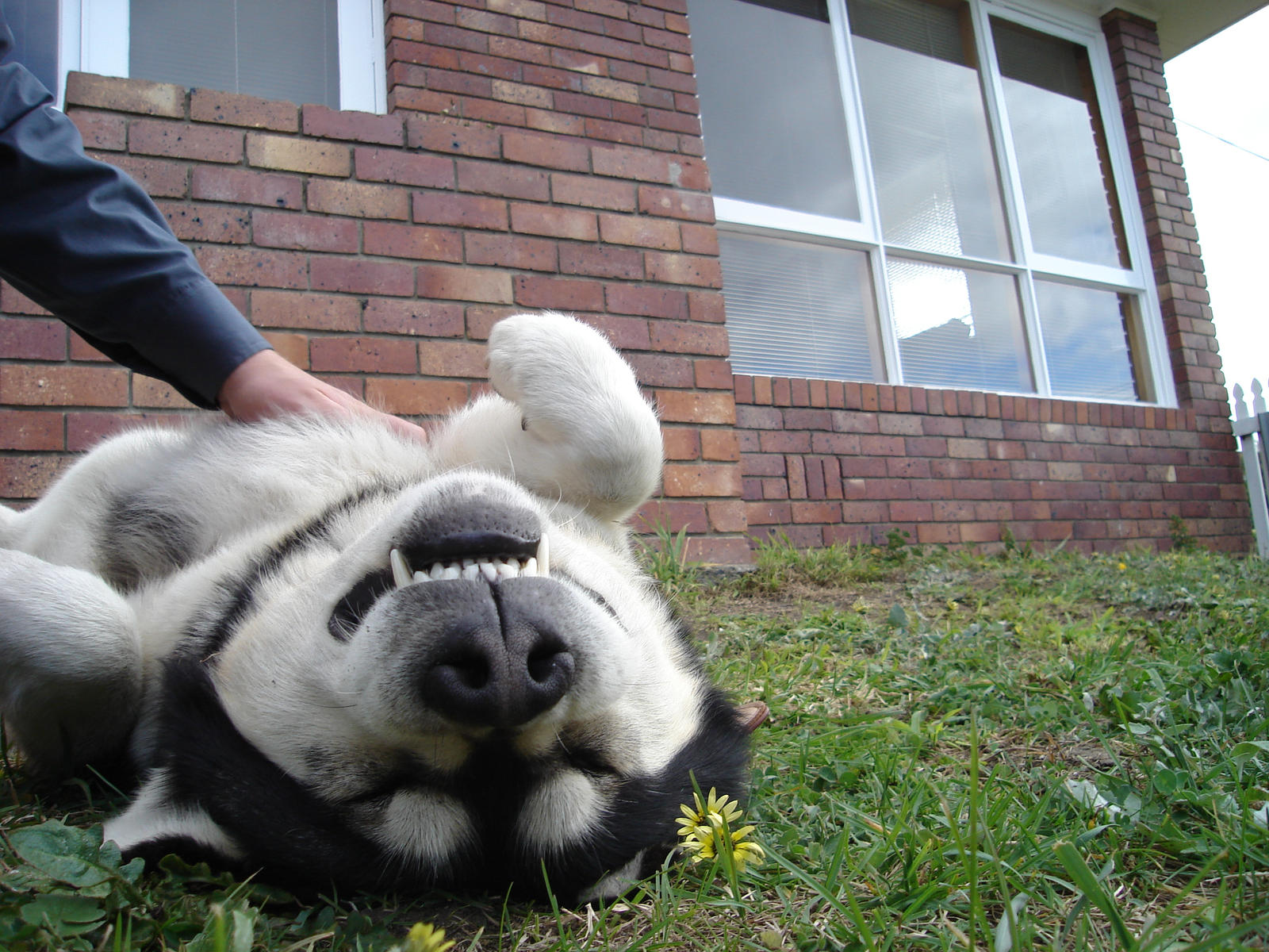 Toby Gets a Belly Rub 2