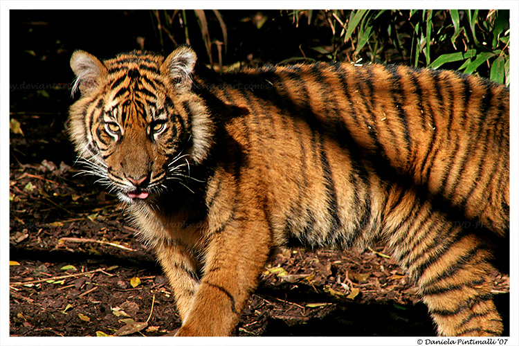 Baby Tiger: Attitude by TVD-Photography