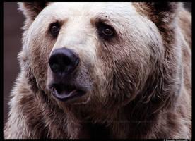 Bear Portrait by TVD-Photography