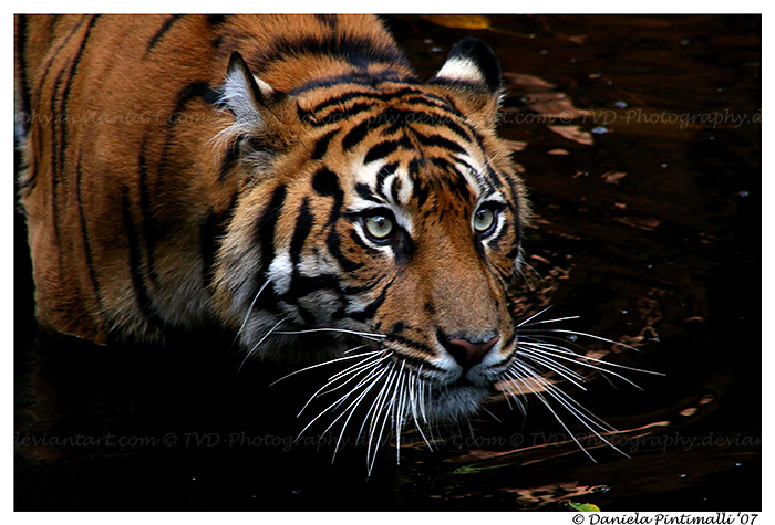 Tiger Dip by TVD-Photography