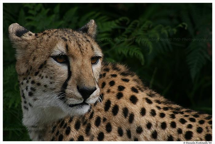 Cheetah Sheeba II by TVD-Photography