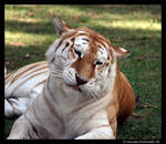 Pondering Tigress by TVD-Photography
