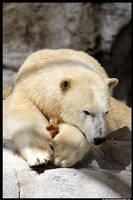 Polar Bear Portrait by TVD-Photography