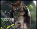 Tree Kangaroo with baby II by TVD-Photography