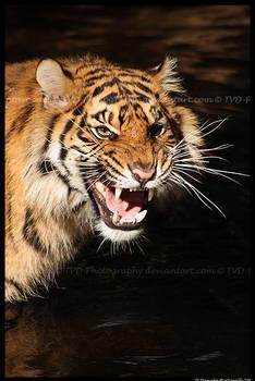 Tiger: Annoyance