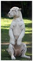 White Tiger: Sitting up