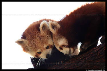 Red Pandas by TVD-Photography