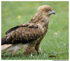 Whistling Kite by TVD-Photography
