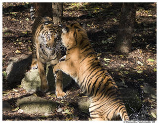 Playful Tigers by TVD-Photography