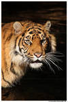 Tiger: Annoyance II