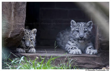 Baby Snow Leopards by TVD-Photography