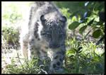 Baby Snow Leopard II