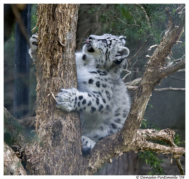 Baby Snow Leopard Climb Tree By Tvd Photography On Deviantart