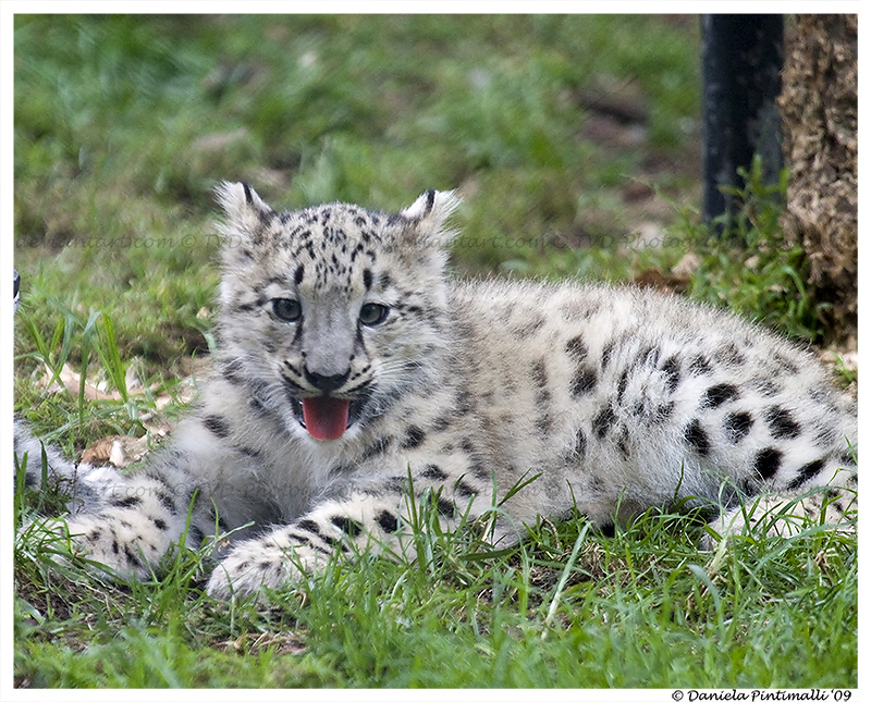 Baby Snow Leopard Bleagh By TVD Photography