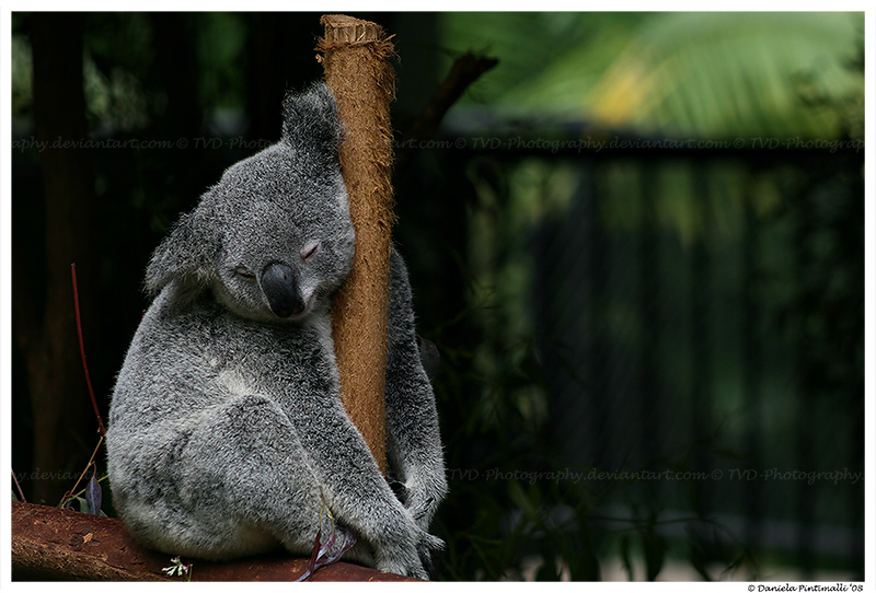 Sleepy Koala II by TVD-Photography