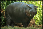 Baby Hippo: Lunch by TVD-Photography