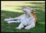 Dreamy Tigress