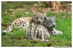 Baby Snow Leopards II