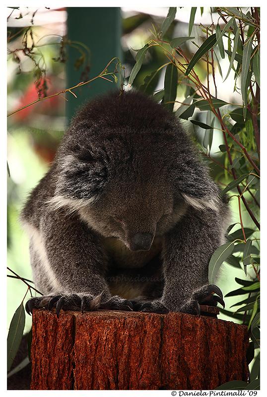 Emo Koala by TVD-Photography