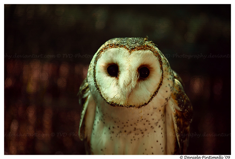 Masked Owl: Hello by TVD-Photography
