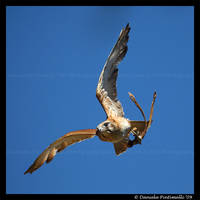 Falcon: In Flight by TVD-Photography