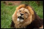Lion: Not Amused