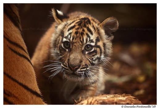 Baby Tiger: Wonder