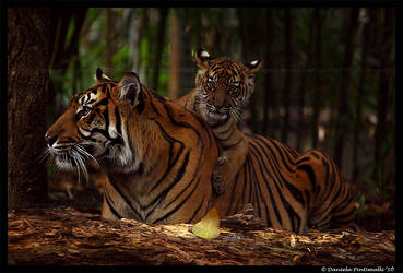 Baby Tiger: Love mum by TVD-Photography