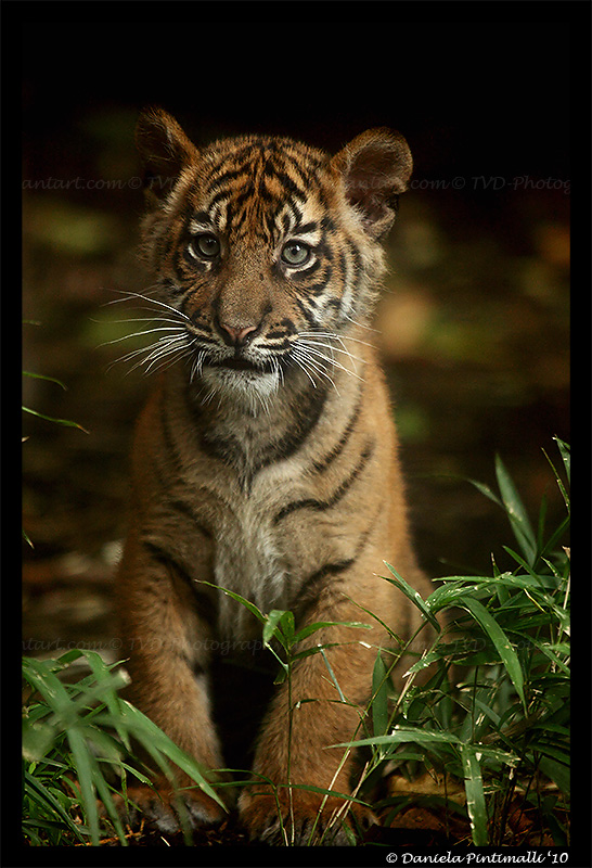 Baby Tiger Portrait II by TVD-Photography