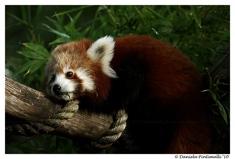 Red Panda Monorail by TVD-Photography