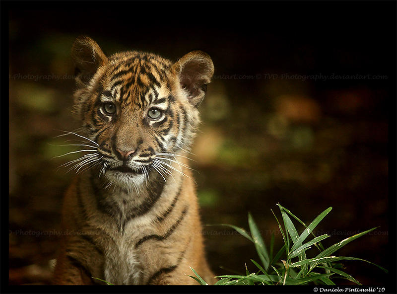 Baby Tiger Portrait III by TVD-Photography