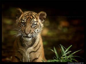 Baby Tiger Portrait III