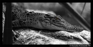 Happy Croc II