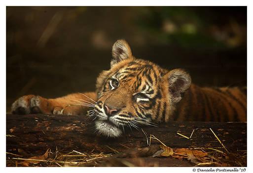 Baby Tiger: Model II