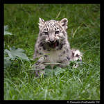 Baby Snow Leopard: Tasty II